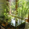 Umbrella papyrus (Cyperus alternifolius) in a low-tech natural aquarium