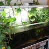 A 120x50x50 aquarium with Epipremnum pinnatum (left) and Ficus pumila (right)