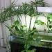 Umbrella papyrus (Cyperus alternifolius)