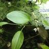IMG_3552_W800_flowering_echinodorus