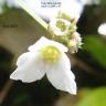 IMG_3554_W800_echinodorus_flower