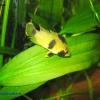 Female panda cichlid