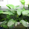 Echinodorus plant with fresh leaves