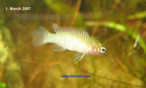Female scarlet badis, a death sentence for all