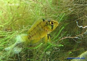 Female dwarf yellow cichlid (Apistogramma borellii)