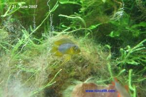 Male yellow dwarf cichlid (Apistogramma borellii)