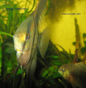 Columbian angelfish (Pterophyllum scalare)