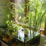 Umbrella papyrus (Cyperus alternifolius) in a lowtech natural aquarium (see biotope in my room)