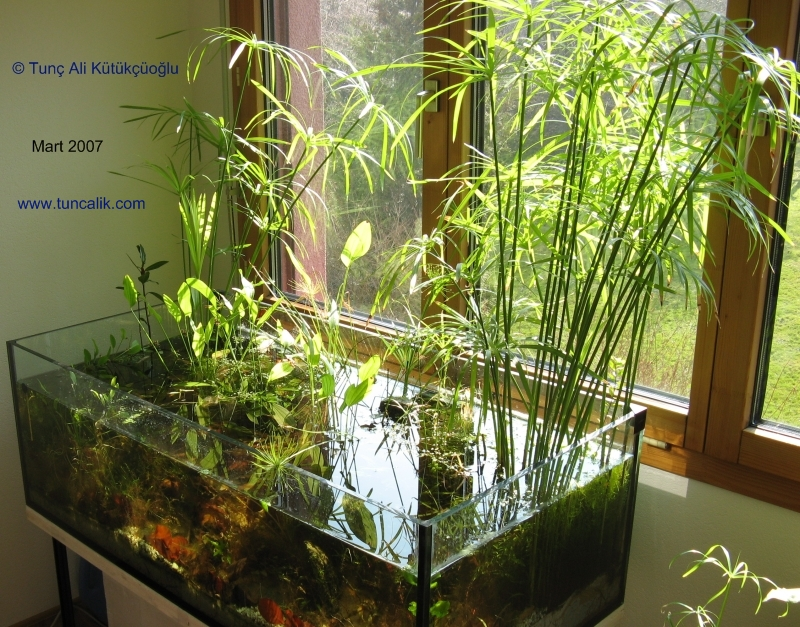 ... alternifolius) in a lowtech natural aquarium (see biotope in my room